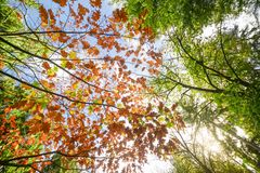 Low Angle Photo of Maple Leaves Stock Photos