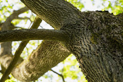 Low angle photo of maple tree in spring Stock Photography