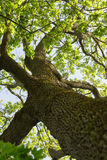 Low angle photo of maple tree in spring. Sunny Royalty Free Stock Photo