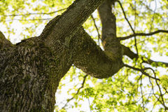 Low angle photo of maple tree in spring. Sunny Stock Images