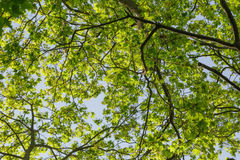 Low angle photo of maple tree in spring Royalty Free Stock Photo