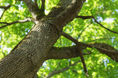 Low angle photo of maple tree. Summer time Royalty Free Stock Photography