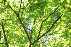 Low angle photo of maple tree. Summer time Stock Images