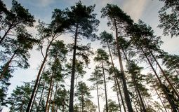 Low angle photo of pines. Early morning before sunrise Stock Photography