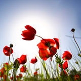Low angle photo of red poppies against sky with light burst. Stock Image