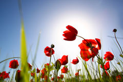 Low angle photo of red poppies against sky with light burst. Royalty Free Stock Images