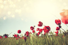 Low angle photo of red poppies against sky with light burst. Royalty Free Stock Photos