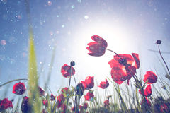 Low angle photo of red poppies against sky with light burst and glitter sparkling lights.  royalty free stock photo