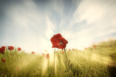 Low angle photo of red poppies against sky with light burst and glitter sparkling lights Stock Image