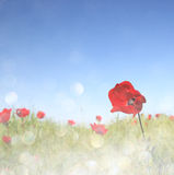 Low angle photo of red poppies against sky with light burst and glitter sparkling lights Royalty Free Stock Image