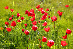 Low angle photo of red poppies against sky with light burst and glitter sparkling lights Stock Photography