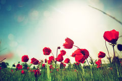 Low angle photo of red poppies against sky with light burst . image is retro filter toned Royalty Free Stock Photo