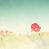 Low angle photo of red poppies against sky with light burst . image is retro filter toned Royalty Free Stock Photography