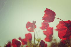 Low angle photo of red poppies against sky with light burst . image is retro filter toned Stock Photography