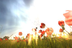 Low angle photo of red poppies against sky with light burst . image is retro filter toned Stock Photo
