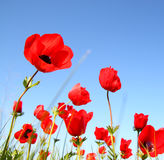 Low angle photo of red poppies against sky with light burst . image is retro filter toned Royalty Free Stock Images