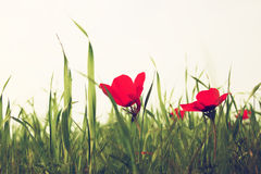 Low angle photo of red poppies against sky with light burst. vintage filtered and toned Stock Photography