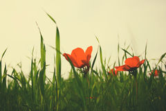 Low angle photo of red poppies against sky with light burst. vintage filtered and toned Stock Image