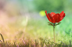 Low angle photo of red poppy in the green field. With light burst Royalty Free Stock Photos