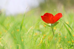 Low angle photo of red poppy in the green field. With light burst Royalty Free Stock Images