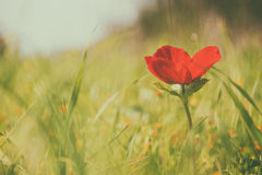 Low angle photo of red poppy in the green field. With light burst Stock Image