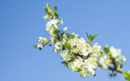 Low Angle Photo of White Clustered Flowers and Tiny Leaf Royalty Free Stock Photo