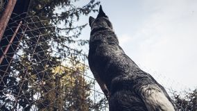 Low Angle Photography of Adult Gray German Shepherd Stock Image