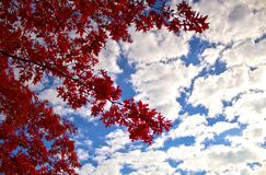 Low Angle Photography of Red Leaf Tree Under Cloudy Blue Sky during Daytime Stock Photo