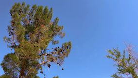Low Angle Pine Tree 5171. 4k zoom out low angle shot of pine tree waving in the wind over blue sky background with copyspace for your text or image of your stock footage