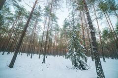 Pine forest wide and low angle. Low angle of pine trees in winter, wide view of forest from below stock images