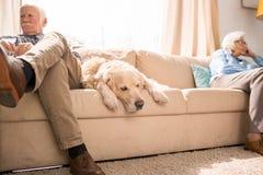Senior Dog Sleeping on Couch stock photography