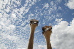 Low angle portrait of two ostrichs` against blue sky Royalty Free Stock Image