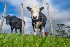 Low angle POV of grass fed beef cattle on hillside with uneven f. Ence in North Island, New Zealand, NZ royalty free stock image