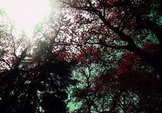 Low Angle of Red Leaf Trees during Daytime Royalty Free Stock Photos