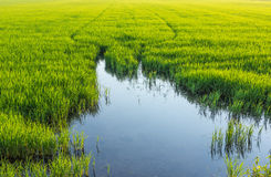 Low angle reflection water in rice farming in Thailand. Stock Photography