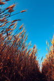 Low angle of ripe wheat field. With blue sky as copy space Royalty Free Stock Photos