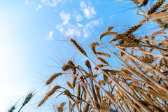 Low angle of ripe wheat field. With blue sky in the background Royalty Free Stock Photo