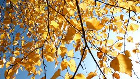 Low-angle Shot Of Autumn Trees. This stock footage features a low-angle shot of an autumn tree. It shows the branches with yellow leaves hanging loosely and stock video footage