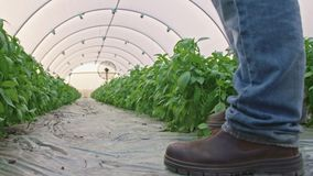 Low angle shot of basil greenhouse with farmer walking inside. Low angle shot of basil greenhouse stock footage