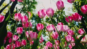 Low angle shot: Beautiful pink tulips sway in the wind. Petals of flowers light the sun stock video footage