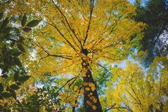 Low angle shot of a beautiful tall tree with golden leaves during Autumn in the forest stock images