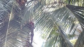 Low angle shot guy harvests coconuts sitting on palm tree. Low angle shot view through lacy palm tree leaves with ripe coconuts and guy plucks fruit against blue stock footage