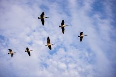 Free Low Angle Shot Of Birds Flying In Formation With A Bue Cloudy Sky In The Background Stock Images - 161835944