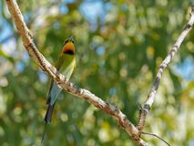 A low angle shot of a rainbow bee-eater in a tree stock photos