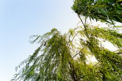 Low angle shot of weeping willow (salix babylonica) leaves. Willow tree, also called sallow, and osier, form the genus Salix, around 400 species of deciduous royalty free stock photos