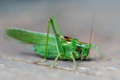 Low angle side closeup of a green wart biter grasshopper stock photos