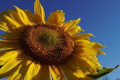 Low angle of sunflower. A sunflower against clear blue sky Royalty Free Stock Image