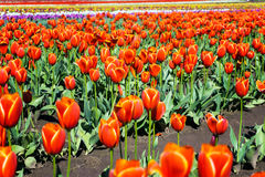 Low Angle Tulip View Stock Images