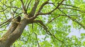 Low angle video of maple tree. In spring stock footage