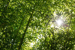 Low Angle View of Bamboo Branches Stock Images